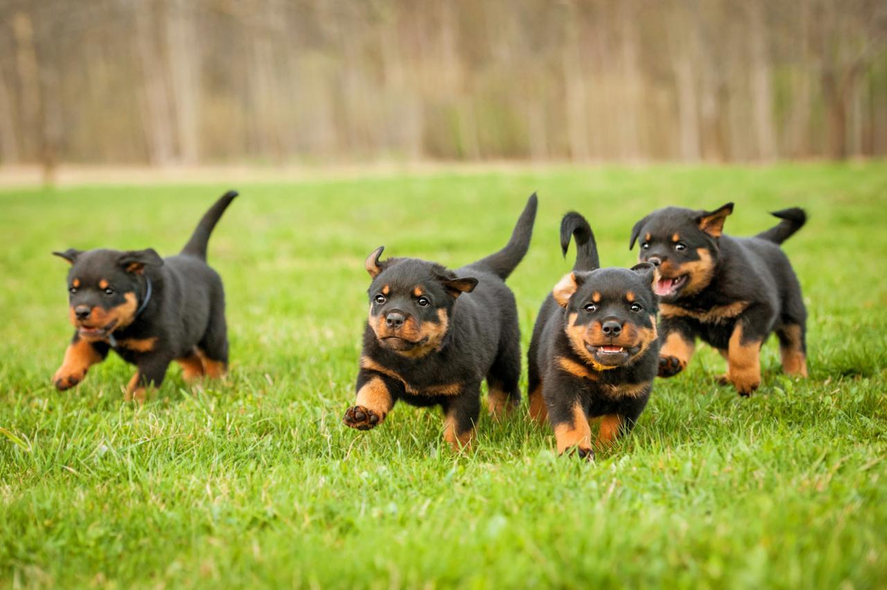 Rottweiler: un bon chien de garde?